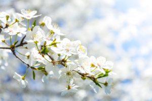 kwiat-jabloni